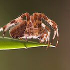 Araneus diadematus by Glynn May