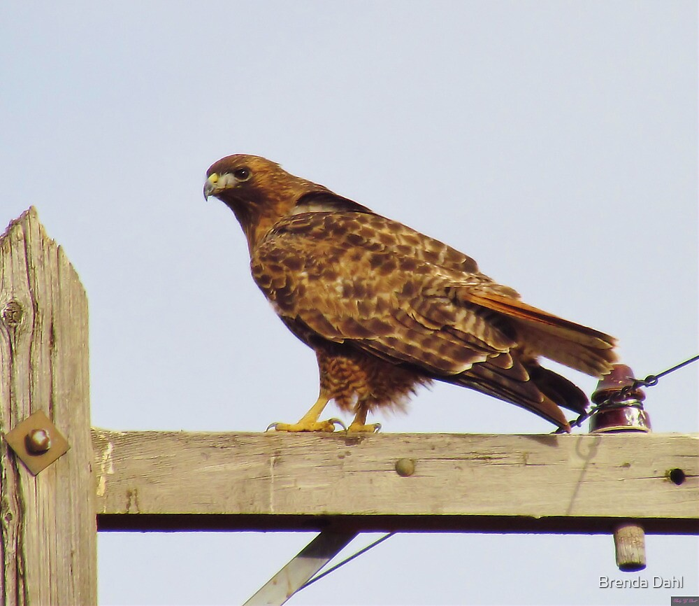 Red Tailed Hawk #2 by Brenda Dahl