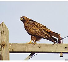 Red Tailed Hawk #2 Photographic Print