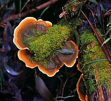 Plate Fungus by Alex Fricke