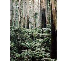 Mountain Ash and Tree Ferns, Sherbrooke Forest. Photographic Print