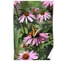 Echinacea with Butterfly 8835 Poster