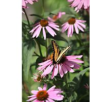 Echinacea with Butterfly 8835 Photographic Print