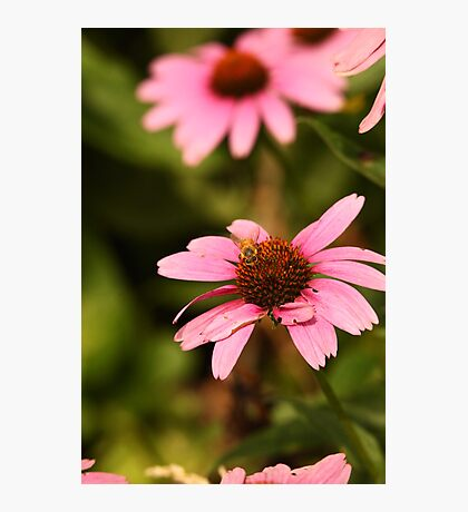 Echinacea with Bee 8674 Photographic Print