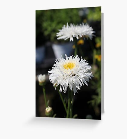 Chrysanthemum 6777 Greeting Card