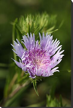 Chyrsanthemum 6828 by Thomas Murphy