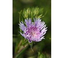 Chyrsanthemum 6828 Photographic Print