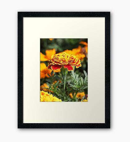 Marigold  Flower 7109 Framed Print