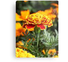 Marigold  Flower 7109 Metal Print