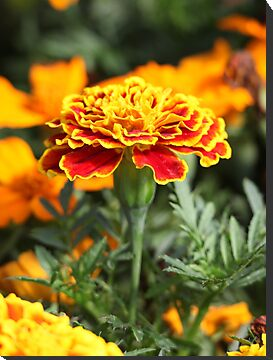 Marigold  Flower 7109 by Thomas Murphy