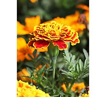 Marigold  Flower 7109 Photographic Print