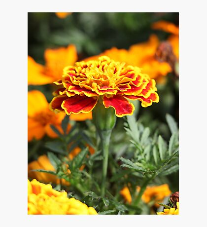 Marigold  Flower 7109 Photographic Print