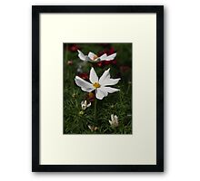 White Cosmos 7133 Framed Print
