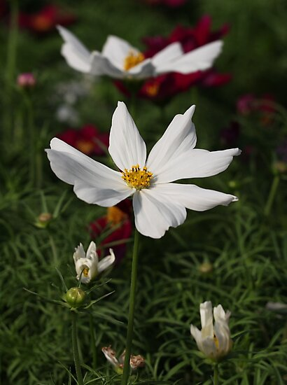 White Cosmos 7133 by Thomas Murphy