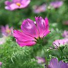 Cosmos Flower 7142 by Thomas Murphy