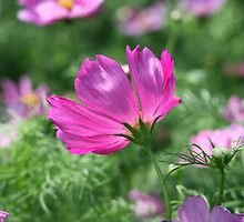 Cosmos Flower 7142 by Thomas Murphy