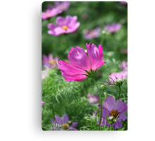Cosmos Flower 7142 Canvas Print