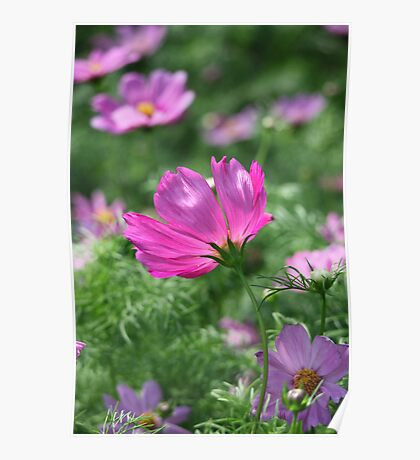 Cosmos Flower 7142 Poster