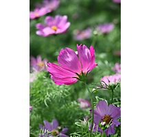 Cosmos Flower 7142 Photographic Print