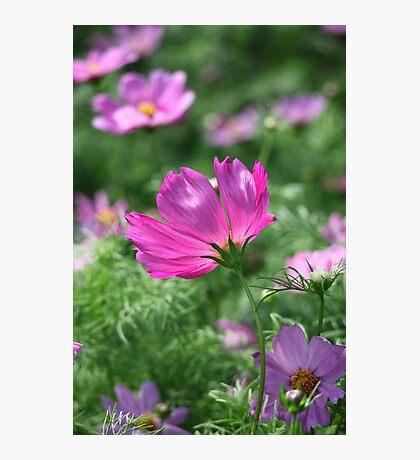 Cosmos Flower 7142 Photographic Print