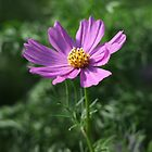 Cosmos 7150 by Thomas Murphy