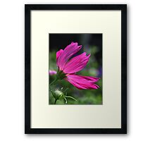 Cosmos Flower 7166 Framed Print