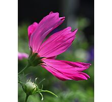 Cosmos Flower 7166 Photographic Print