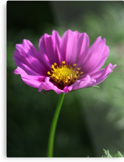Pink Flower by Thomas Murphy