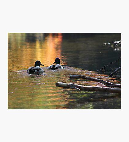 The Leading Ducks Photographic Print