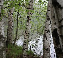 Birch Tree Waterscape 3228 by Thomas Murphy