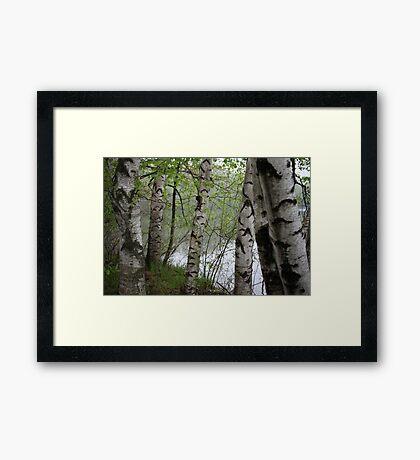 Birch Tree Waterscape 3228 Framed Print