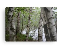 Birch Tree Waterscape 3228 Metal Print