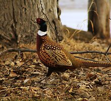 Ring-necked Pheasant by Alyce Taylor