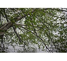 Birch Tree Waterscape 3129 Photographic Print