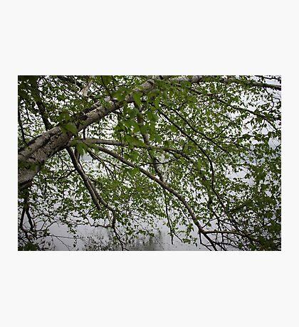 Birch Tree Waterscape 3129 Photographic Print
