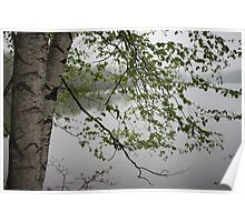 Birch Tree Waterscape 3235 Poster