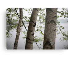 One Two Three Birch Tree 3238 Metal Print