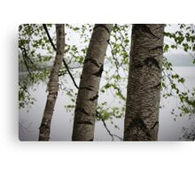 One Two Three Birch Tree 3238 Canvas Print