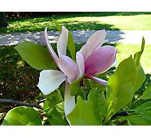 Magnolia in Spring Photographic Print