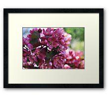 Pink Apple Blossoms Framed Print