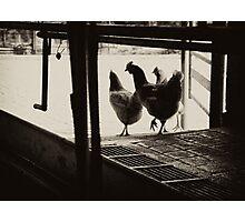 Chooks passing through the dairy, Yackandandah Photographic Print