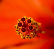 Hibiscus by Andrew Jones