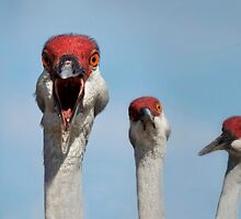 Curious Cranes by Kristian Bell