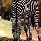 zebra by Lolabud