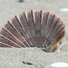 Sea shell, New Zealand beach by nzpixconz