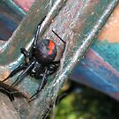 Red Back Spider by peterthompson