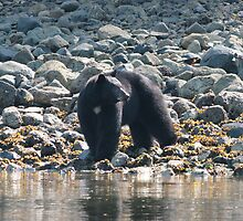 Canadian black bear, Tofino by Denzil