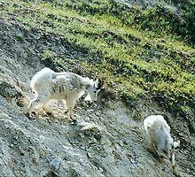 Mountain Goats, Jasper National Park, Alberta, Canada by Adrian Paul