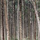 Forest and the trees, Uganda, Africa by Hannah Nicholas