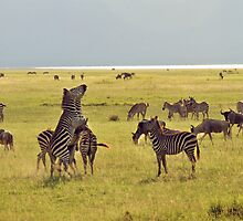 Jostling zebras by Catherine Ames